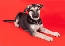 Amarele com o cachorrinho preto das marcações que encontra-se no vermelho Imagem de Stock Royalty Free