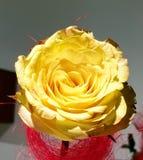 Amarele cor-de-rosa Foto de Stock Royalty Free
