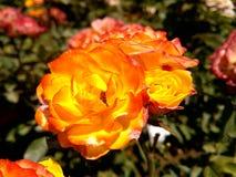 Amarele cor-de-rosa Fotos de Stock Royalty Free