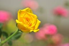 Amarele cor-de-rosa Fotos de Stock