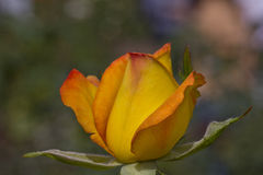 Amarele cor-de-rosa Foto de Stock