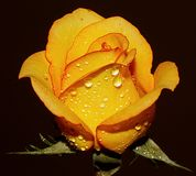 Amarele cor-de-rosa Imagem de Stock Royalty Free