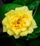 Amarele cor-de-rosa Fotografia de Stock Royalty Free