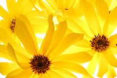 Amarele a flor Imagens de Stock