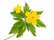 Amarele a flor do botão de ouro a mola Fotografia de Stock