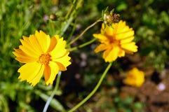Amarele a flor no jardim Fotografia de Stock