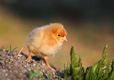 Amarele a galinha Foto de Stock