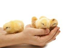 Amarele a galinha em uma mão do homem Imagens de Stock