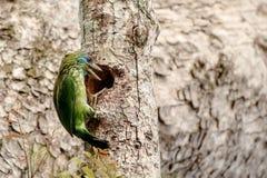 amarele o barbet fronteado, flavifrons de Psilopogon no ninho de Sri Lanka imagens de stock
