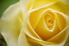 Amarele o fundo de Rosa Fotos de Stock