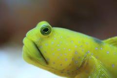 Amarele o góbio do camarão imagem de stock