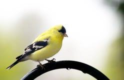 Amarele o goldfinch imagens de stock