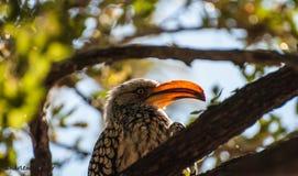Amarele o Hornbill faturado Fotografia de Stock Royalty Free