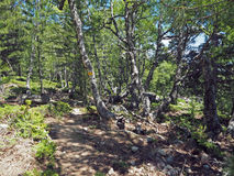 Amarele passeio marcado na floresta do vidoeiro e do pinho fotos de stock