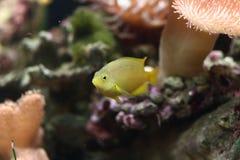 Amarele peixes tropicais Imagem de Stock Royalty Free