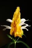 Amarele a planta do camarão Foto de Stock