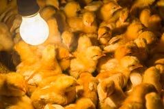 Amarele recentemente pintainhos chocados em uma exploração agrícola de galinha Foto de Stock Royalty Free
