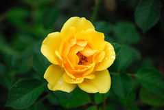 Amarele Rosa Imagens de Stock