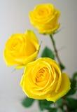 Amarele rosas com folhas verdes imagens de stock