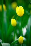 Amarele tulips no parque de Keukenhof Fotografia de Stock