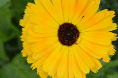 amarelo Fotografia de Stock Royalty Free