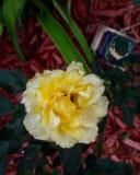 amarelo Fotos de Stock Royalty Free