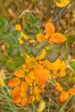 Amarelo, alaranjado, o verde sae na árvore Fundo outonal n Imagens de Stock Royalty Free
