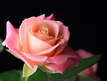 Amarelo, alaranjado, rosa do rosa isolada no fundo preto Fotografia de Stock Royalty Free