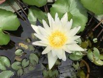 Amarelo aquático da flor branca de Lotus Foto de Stock Royalty Free