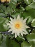 Amarelo aquático da flor branca de Lotus Imagem de Stock Royalty Free