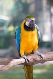Amarelo azul do papagaio Fotos de Stock Royalty Free