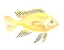 Amarelo bonde do caeruleus de Labidochromis Fotografia de Stock Royalty Free