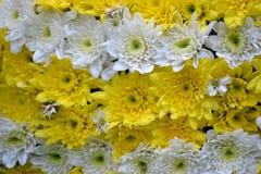 Amarelo branco das flores bonitas Foto de Stock