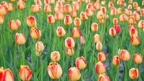 Amarelo brilhante com tulipas vermelhas Fotografia de Stock Royalty Free