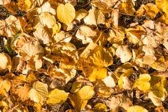 Amarelo caído folhas do outono do cal Imagens de Stock Royalty Free