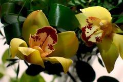 Amarelo com as flores vermelhas da orquídea Imagem de Stock