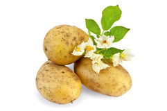 Amarelo da batata com uma flor Foto de Stock