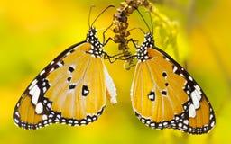 Amarelo da borboleta Fotos de Stock Royalty Free