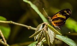 Amarelo da borboleta Imagens de Stock