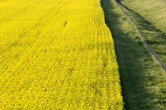 Amarelo da colza na flor fotografia de stock royalty free