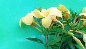 Amarelo da cor da flor do cathartica de Allamande foto de stock