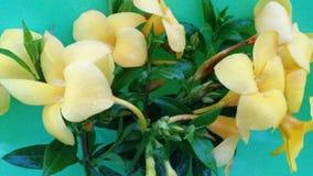 Amarelo da cor da flor do cathartica de Allamande fotografia de stock