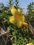Amarelo da flor Fotografia de Stock Royalty Free