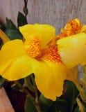 Amarelo da flor fotografia de stock