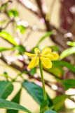 Amarelo da flor do jardim natural Fotografia de Stock Royalty Free