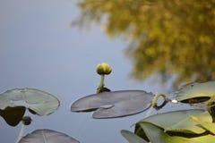 Amarelo da flor do lírio de água dos marismas Fotografia de Stock Royalty Free