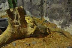 Amarelo da iguana. Fotografia de Stock Royalty Free