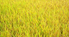 Amarelo da mudança do campo do arroz Fotografia de Stock