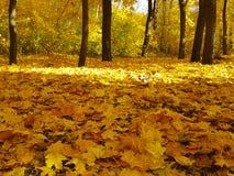 Amarelo da paisagem do parque do outono Fotos de Stock Royalty Free