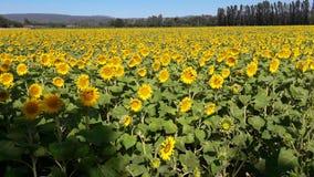 Amarelo das flores Imagem de Stock